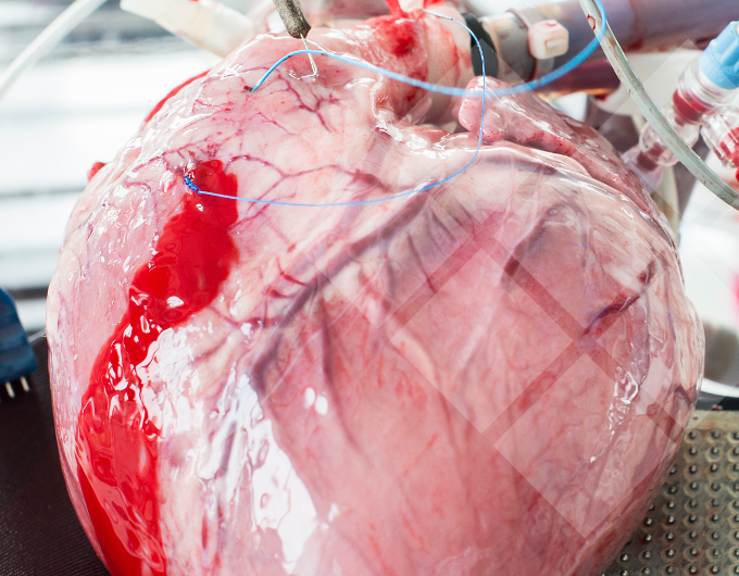 "News | Paper: ""Investigating the physiology of normothermic ex vivo heart perfusion in an isolated slaughterhouse porcine model used for device testing and training"""