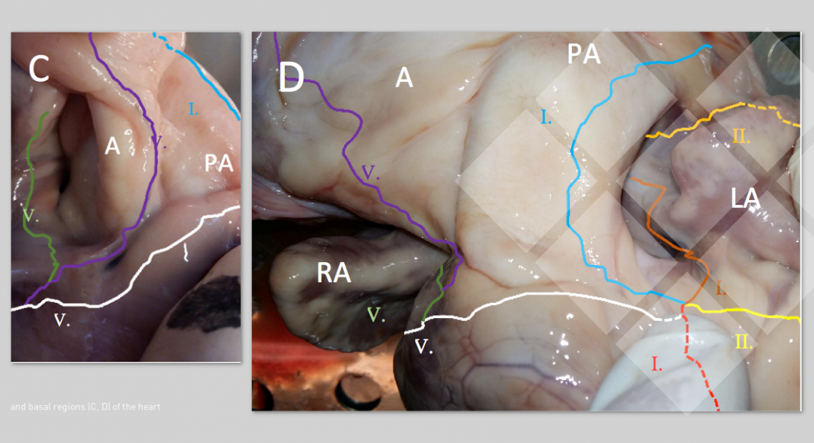 ... and basal regions (C, D) of the heart