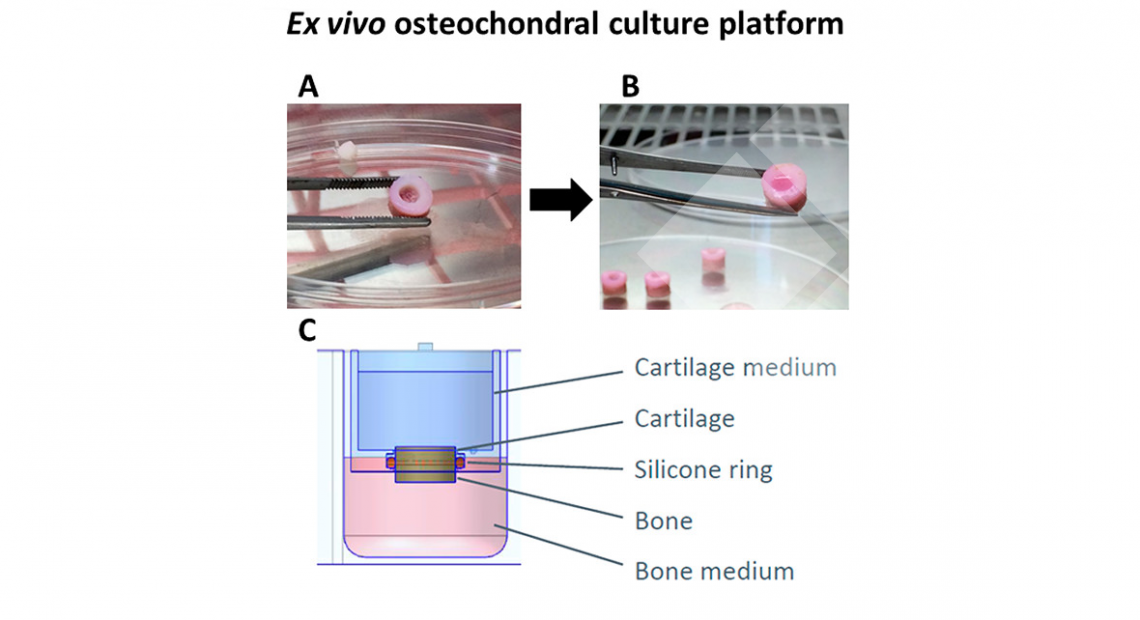 x vivo osteochondral culture platform mounting scheme. (A) Creation of the full cartilage defects of 4 mm diameter with a biopsy punch. (B) Filling of the defects with 30 μL of pA(EIS)2-(I5R)6 hydrogel loaded with 600 000 chondrocytes and 30 μL of pA(EIS)2-(I5R)6 hydrogel itself (control). (C) Mounting of the explant in the inset with the O-ring situated at the exact interface between the bone and the cartilage.
